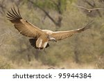 Cape Vulture or Cape Griffon (Gyps coprotheres) in South Africa - stock photo