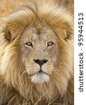 Male African Lion (Panthera leo) in South Africa - stock photo