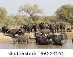 Herd of Cape Buffalo (Syncerus caffer), drinking in Kruger Park, South Africa - stock photo
