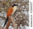 burchell coucal in Kruger national park, South Africa - stock photo