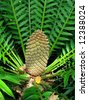 "cycad -""bread plant"" - stock photo"