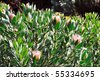 Protea blossoms, Sugarbush - Monte Palace botanical garden, Monte, Madeira - stock photo