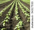 Renewable energy concept. Rows of young sunflower for biodiesel. - stock photo