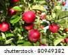 Ripe red MacIntosh apples on the tree. - stock photo