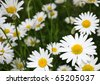 Summer field of daisy flowers - stock photo