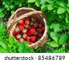 The basket of strawberry in a garden - stock photo