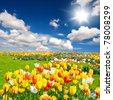 tulip flowers field - stock photo