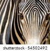 Zebra portrait - stock photo